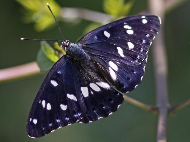 Ospesommarfuglen viser si mørke overside